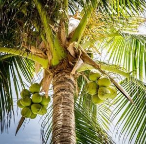 Coconut is considered a complete food in many parts of the world. It