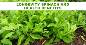 Longevity spinach has many natural home remedies for diabetes in lowering blood sugar