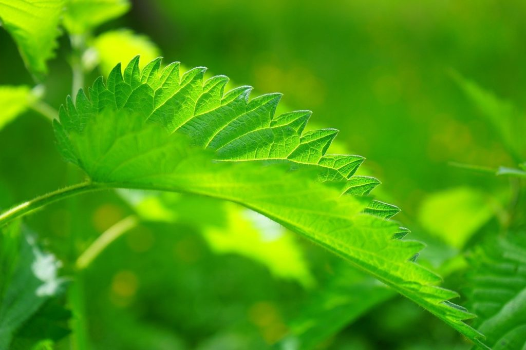 Nettle and walnut leaves may contribute to the stimulation of the beta cells of the pancreas to secrete insulin & help act as anti-diabetic therapies.
