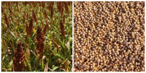Health benefits of Shorghum in nutrition as natural medicine supported by science & research